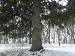 Кагарлик-Кагарлык-Kaharlyk-вікові-дерева
