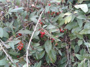 ягода годжа, годжі тибетський