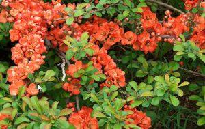 Айва сорту Хеномелес японський Маулея цвіте