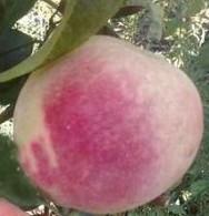 Персик сорту Бургунді
