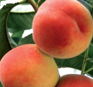 Персик сорту Кросбі