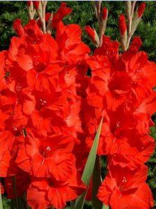 Гладіолус Red Majesty