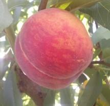 Персик сорту Ерлі крест