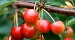 Черешня сорту Присадибна ( Приусадебная )