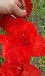 Гладіолус сорту Red Majesty