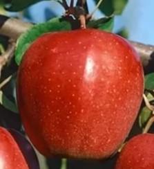 Сорт яблуні Глостер