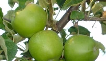 Сорт яблуні Гранні Сміт