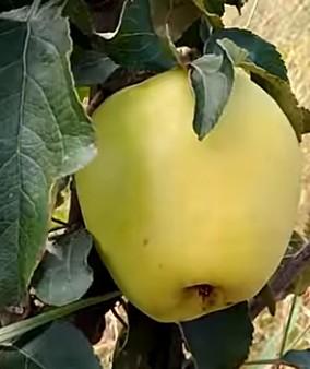 Сорт яблуні Грін Стар