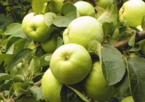 Антонівка сорт яблуні