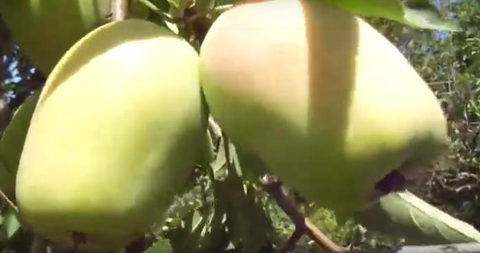 Сорт яблуні Канділь Сінап