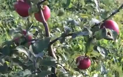 Сорт яблуні Лігольд