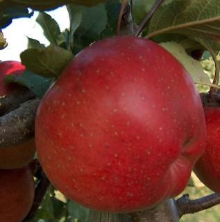 Сорт яблуні Мелроуз