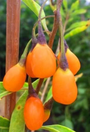 Годжі з жовтими плодами